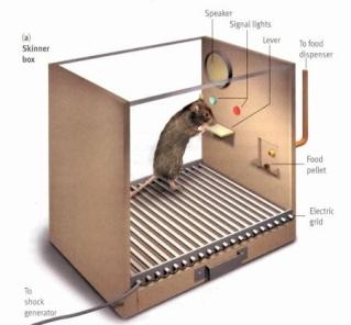 rat in skinner box 3