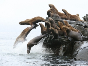 steller sea lion small